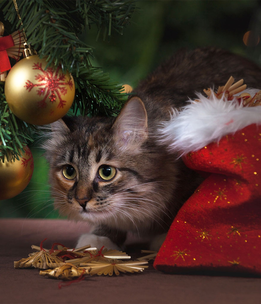 Christmas Offers Cat